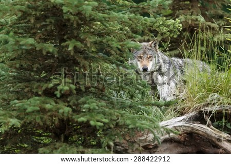 very shy wolf peering out of the woods - stock photo