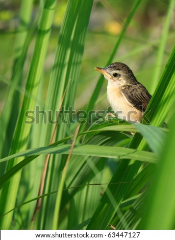 Very small and young bird on lemongrass - stock photo