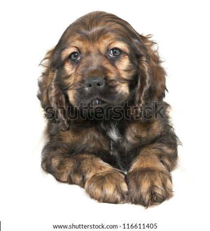 Very sweet Cocker Spaniel, on a white background.