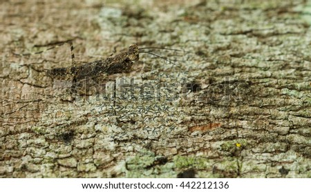 Very tiny mantis hiding on bark tree. - stock photo