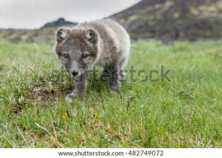Very young Arctic fox cub in nature
