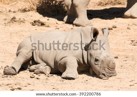 Very young baby white Rhino sleeping on the ground while his mother is standing gaurd. - stock photo