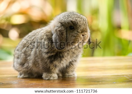Very young holland lop rabbit standing on wood floor in the garden - stock photo