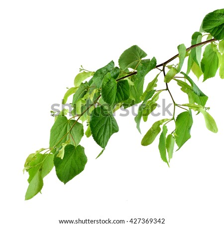 Very young leaves and buds of linden. Early spring. Branch isolated on white background without shadows. Close-up. A charming awakening of nature after winter sleep. - stock photo
