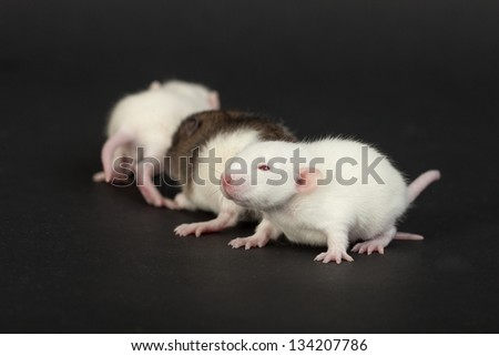 very young rats on a black background