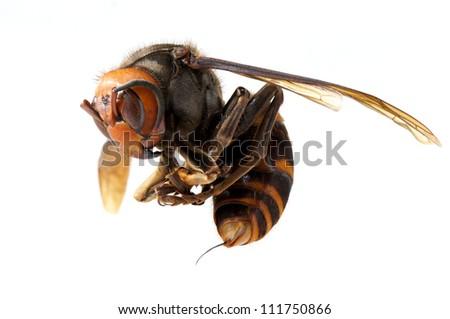 Vespa mandarinia - stock photo