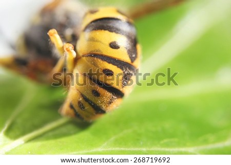 Vespula germanica or European wasp closeup of typical yellow black pattern and dots - stock photo