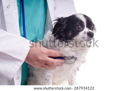 Vet and Dog, Chihuahua. The veterinarian exams the dog, checking its health - stock photo