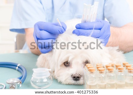 Vet doing acupuncture treatment on dog's head - stock photo