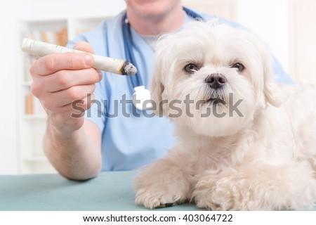 Vet doing moxa treatment on little dog - stock photo