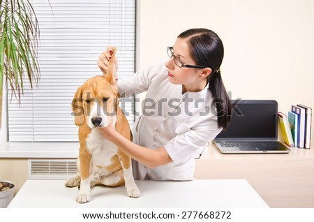 Vet examines the dog's ears of breed beagle - stock photo