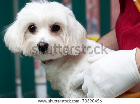 Vet examining a  cute bichon maltese dog - stock photo