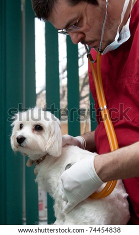 Vet examining a cute bichon maltese dog - stock photo