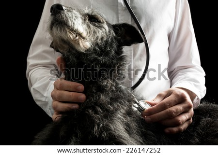 Vet examining a dog with a stethoscope listening to its heartbeat and lungs, closeup of the dogs head and disk of the stethoscope. - stock photo