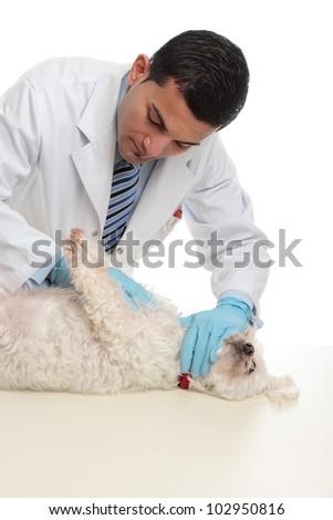 Vet examining a small dog - stock photo