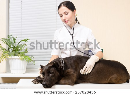 Vet listens stethoscope dog breed Staffordshire terrier - stock photo