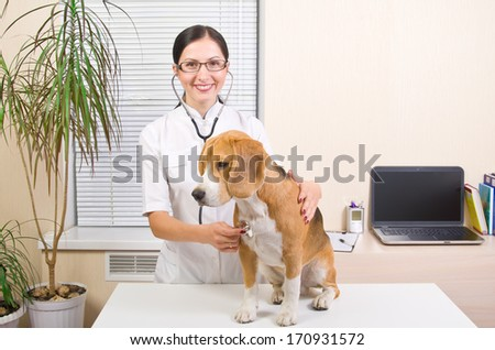 Vet  listens to a stethoscope  dog of breed of beagle - stock photo