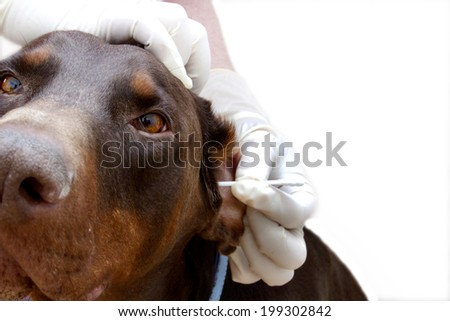 vet to clean dog ears