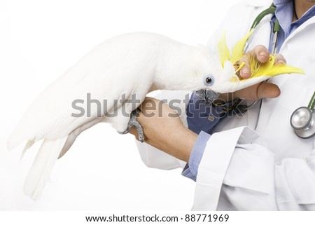 veterinarian caressing a beautiful yellow-crested cockatoo - stock photo