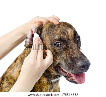 Veterinarian cleans ears to a dog. isolated on white background - stock photo