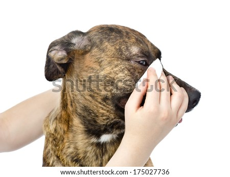 Veterinarian cleans eyes to a dog. isolated on white background - stock photo
