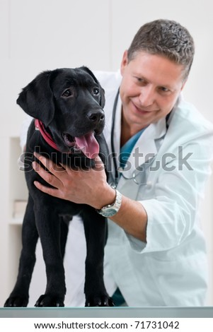 veterinarian doctor making a check-up of a puppy Labrador retriever - stock photo