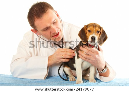 Veterinarian doctor making a checkup of a beagle puppy dog - stock photo