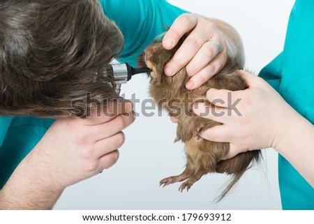 Veterinarian examining a guinea pig - stock photo