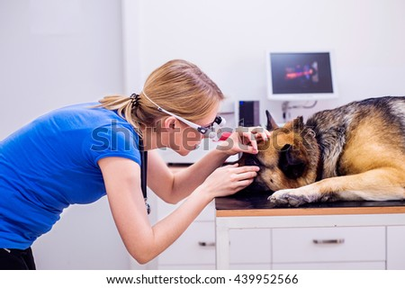 Veterinarian examining German Shepherd dog with sore eye. - stock photo