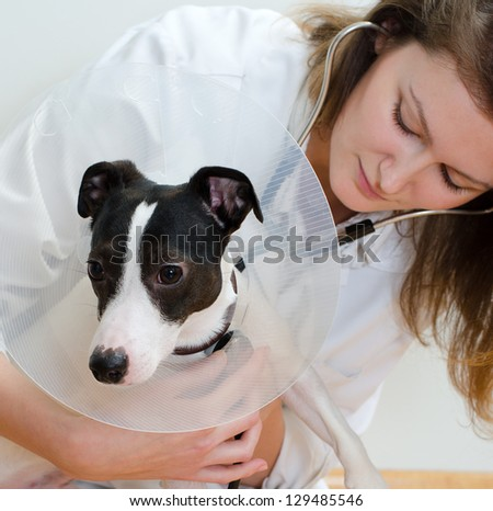 Veterinarian examining jack russell terrier with stethoscope - stock photo