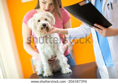 Veterinarian examining sick Maltese dog in vet clinic - stock photo