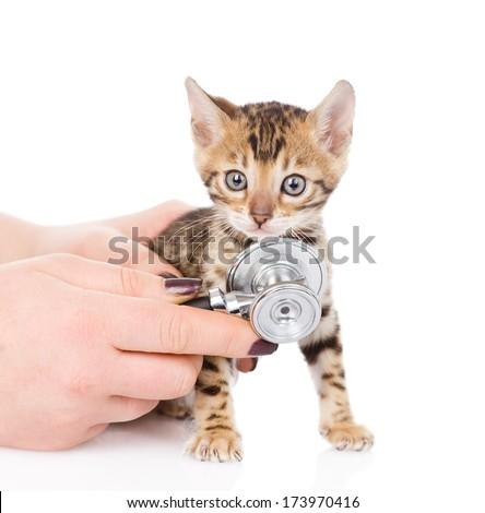 Veterinarian hand examining a bengal kitten. isolated on white background - stock photo