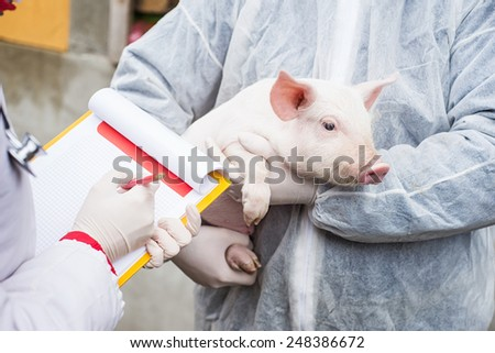Veterinarian holding a pig while nurse working trial. - stock photo