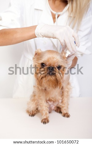 Veterinarian inspects a little dog breed Griffon Bruxellois