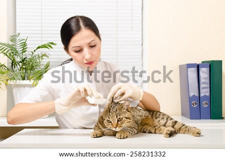 Veterinarian is dripping ear cat breed Scottish Straight - stock photo