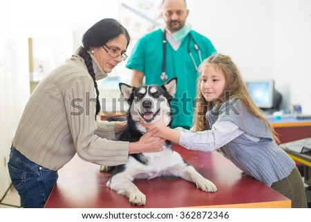 Veterinarian is examining a cute siberian husky with his owner at hospital. - stock photo