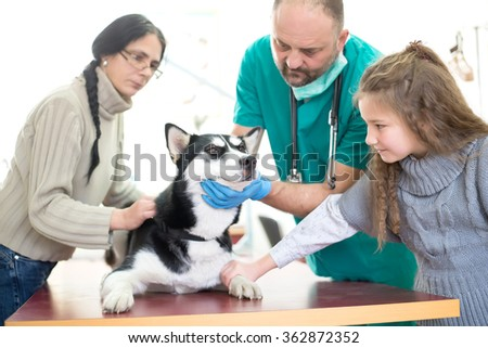 Veterinarian is examining a cute siberian husky with his owner at hospital.