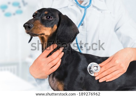 Veterinarian is listening dachshund dog in a clinic - stock photo