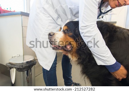 Veterinarian is listening to heartbeat by big dog