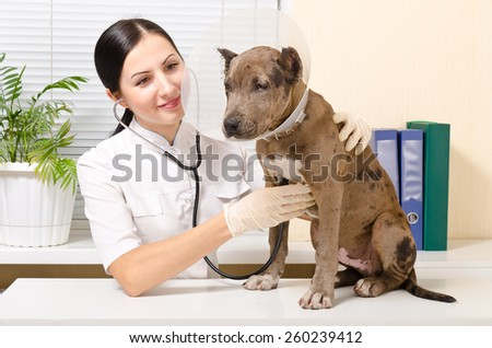Veterinarian listens to a stethoscope a pit bull puppy in a protective collar - stock photo