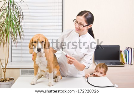 Veterinarian measures the body temperature of a beagle dog - stock photo