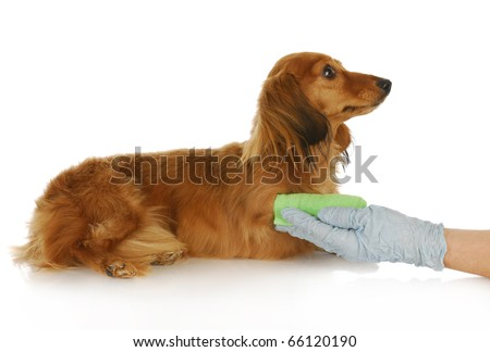veterinarian with gloved hand holding broken paw of dachshund with reflection on white background - stock photo