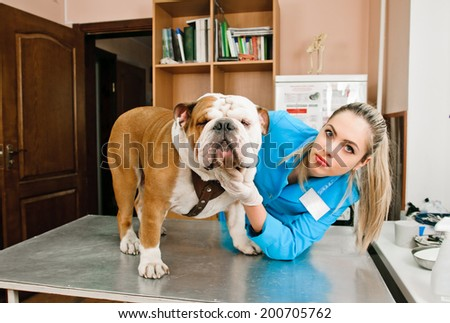 veterinarian woman inspects bulldog in veterinary station