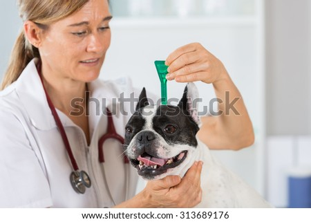 Veterinary antiparasitic placing a pipette into a French bulldog in the consultation - stock photo