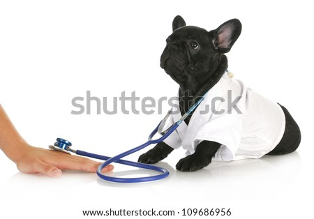 veterinary care - french bulldog doctor taking care of human patient on white background - stock photo