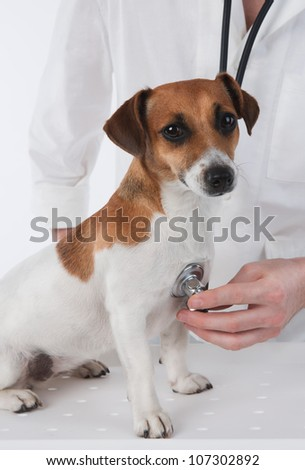 Veterinary. Dog Jack Russell terrier is having medical examination by vet. - stock photo