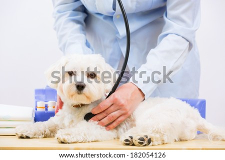 Veterinary treatment - lovely Maltese dog and friendly veterinary - stock photo