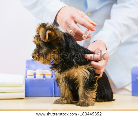 Veterinary treatment - vaccinating the Yorkshire puppy - stock photo