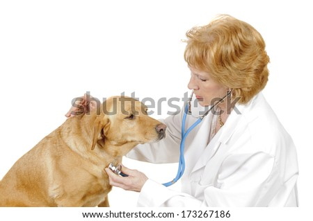 Vetrinarian checking out a  labrador mix, isolated on white - stock photo