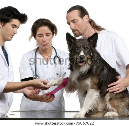 Vets wrapping a bandage around a Border Collie's paw in front of white background